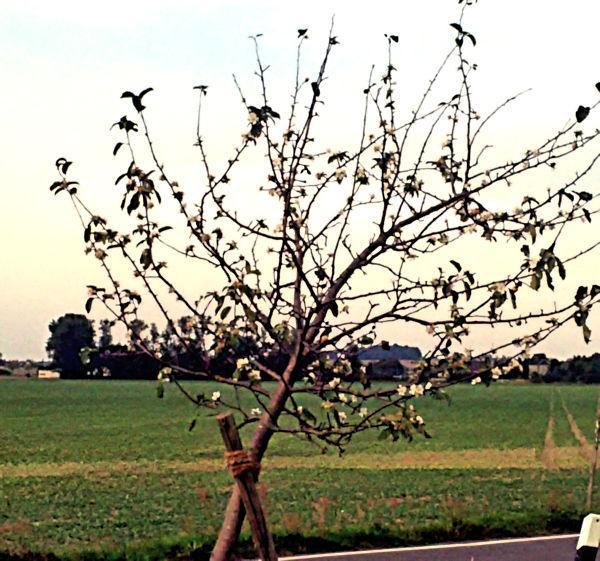 Blhender Apfelbaum im Oktober