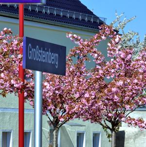Japanische Zierkirschen am Großsteinberger Bahnhof