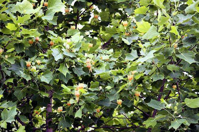 tulpenbaum-1