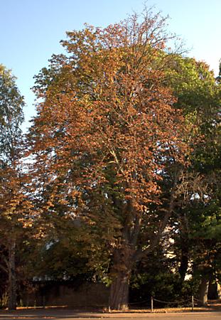 Kastanie in der Anlage vor der Kirche