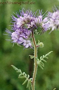 Phacelia tanacetifolia oder im Volksmund Büschelschön